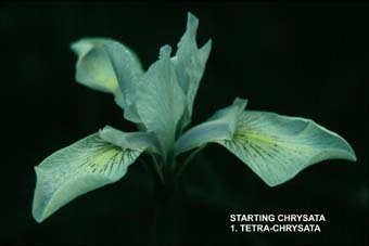 Starting Chrysata